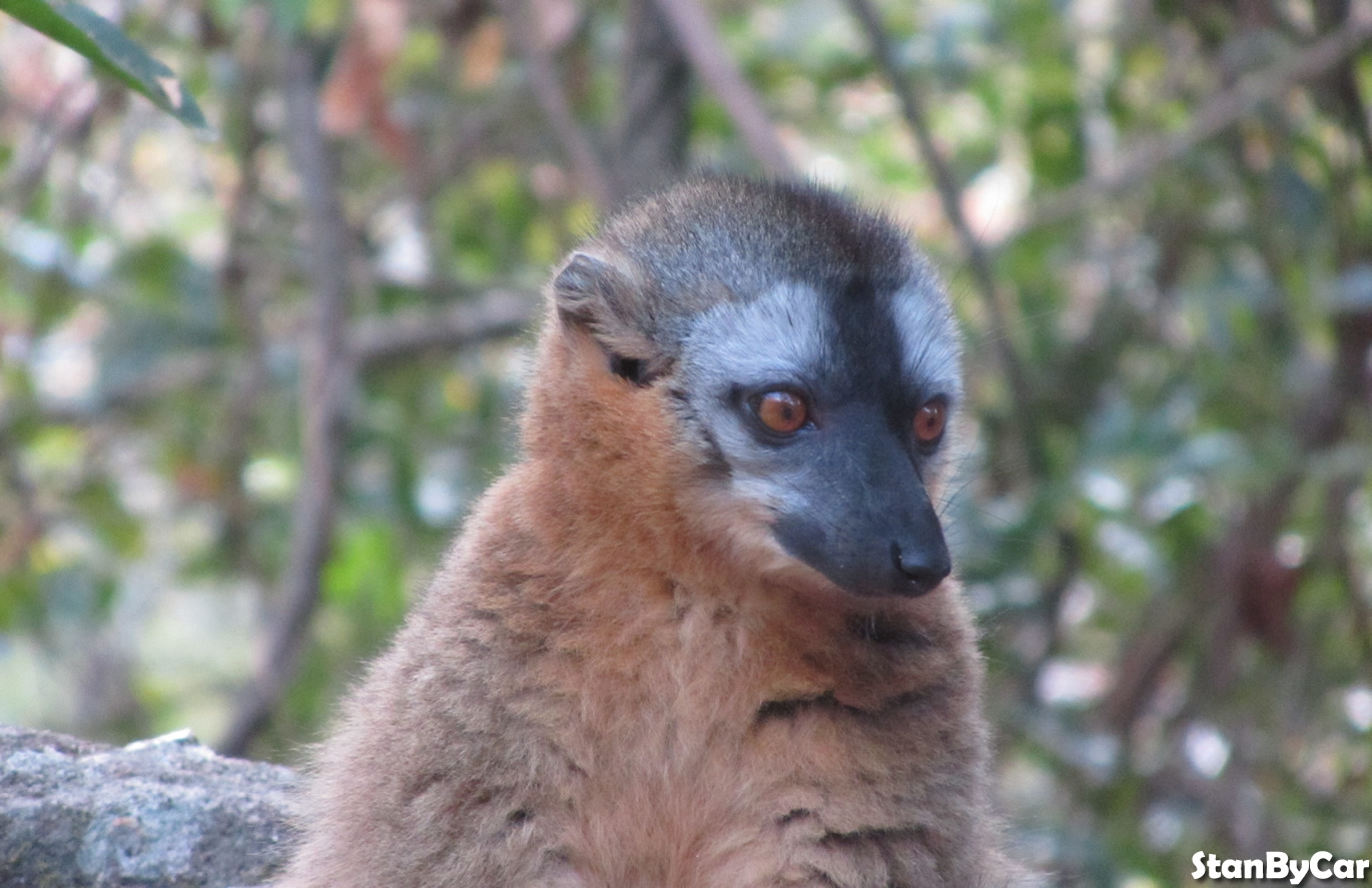 LEMUR BRUN MALE
